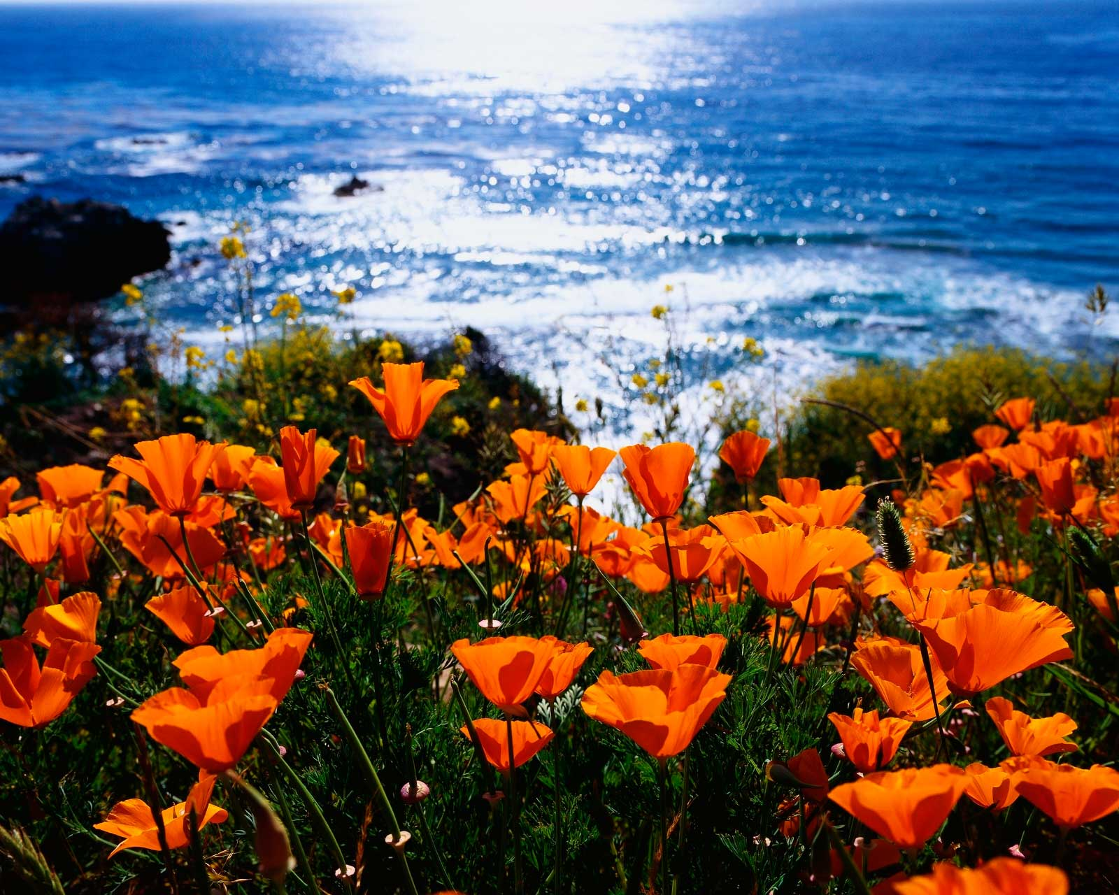 Bob cut mag good news california poppies are on their way mightylinksfo