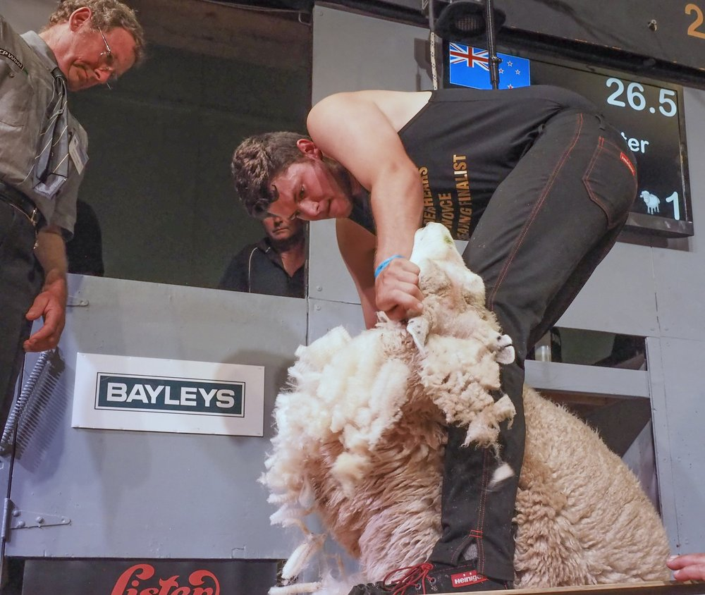 Andrew Baxter, of Pongaroa, makes it two in a row for the family in winning the Golden Shears Novice shearing final, which was won by his brother last year. PHOTO/Golden Shears Media Group.