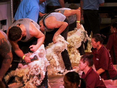 Senior Shearing semi finals 1