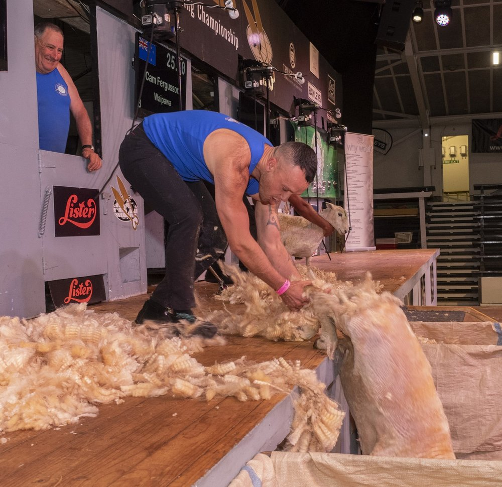 Masterton shearer Paerata Abraham grabs his sheep as it tried to flee the stage at the end of last night's Golden Shears Open Speedshear final in Masterton.  PHOTO/Pete Nikolaison, Golden Shears.