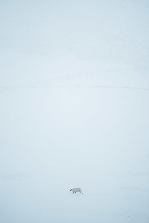 Copy of reindeer on Svalbard