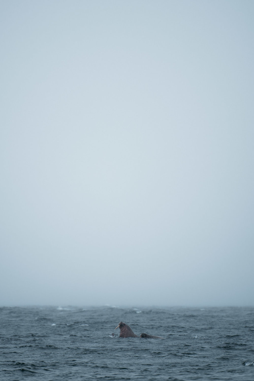 Copy of walrus on Svalbard