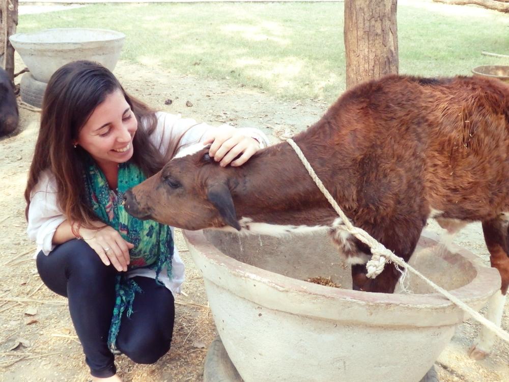 Cattle taken care of in Root Institute, Bodhgaya, India