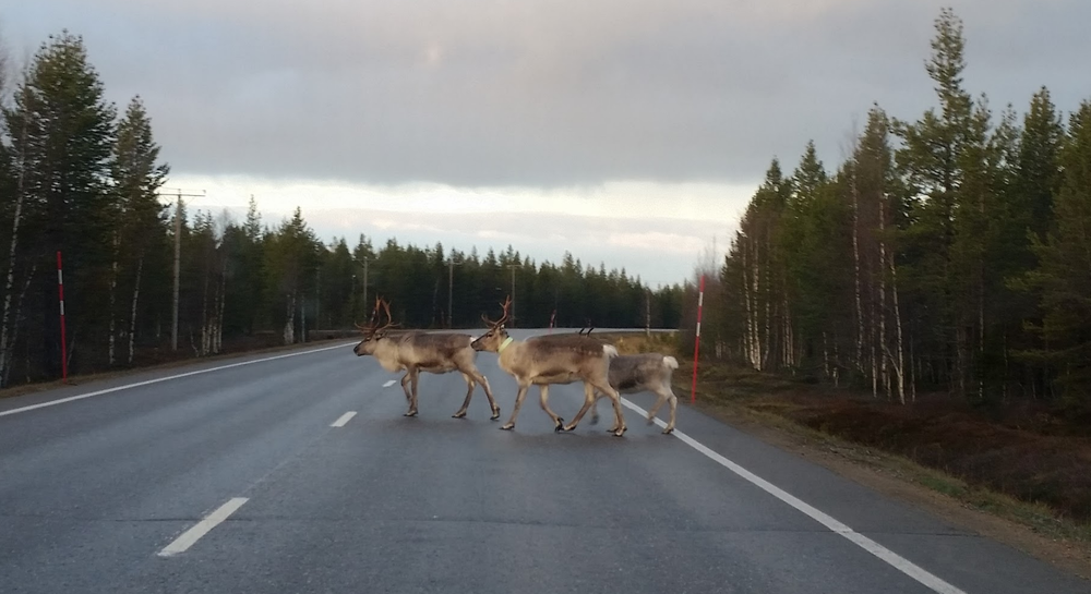 - Reindeer sightings are not unusual