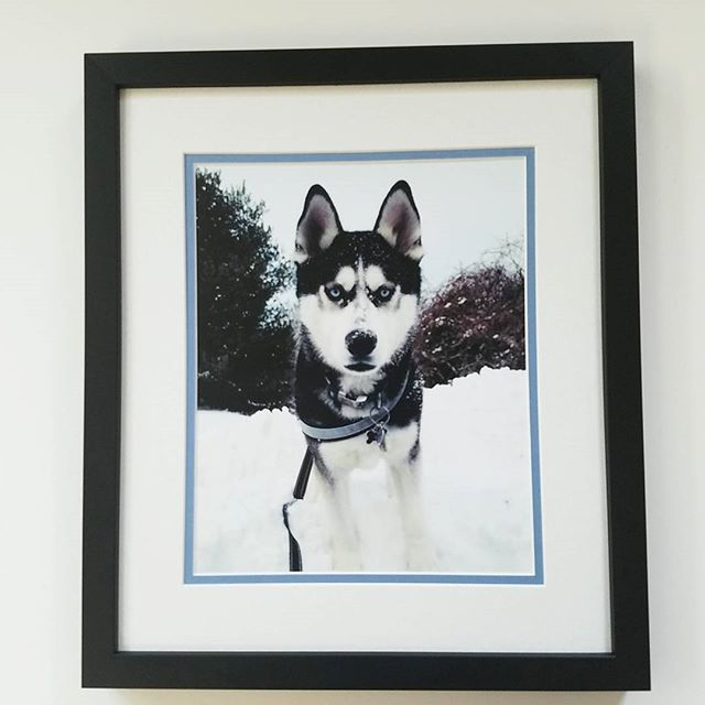 Mesmerizing blue eyes, and loves the snow.  The simple black frame outlines the double textured mats, featuring a blue eye inner #huskydog #snow #hiking #blue #blueeyes #loveyourwalls #lynartframing