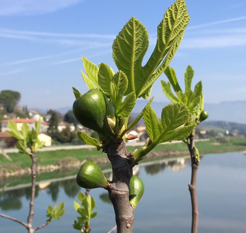 Figs growing along the river Serchio.