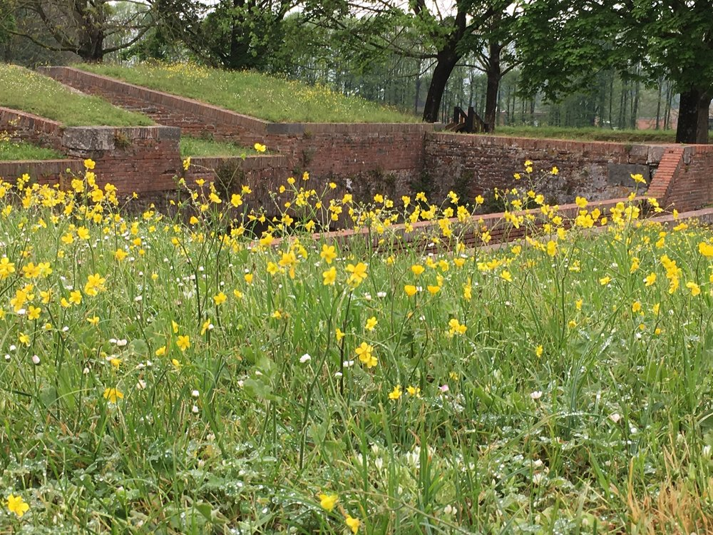 A field of wild buttercups along the wall in Lucca.