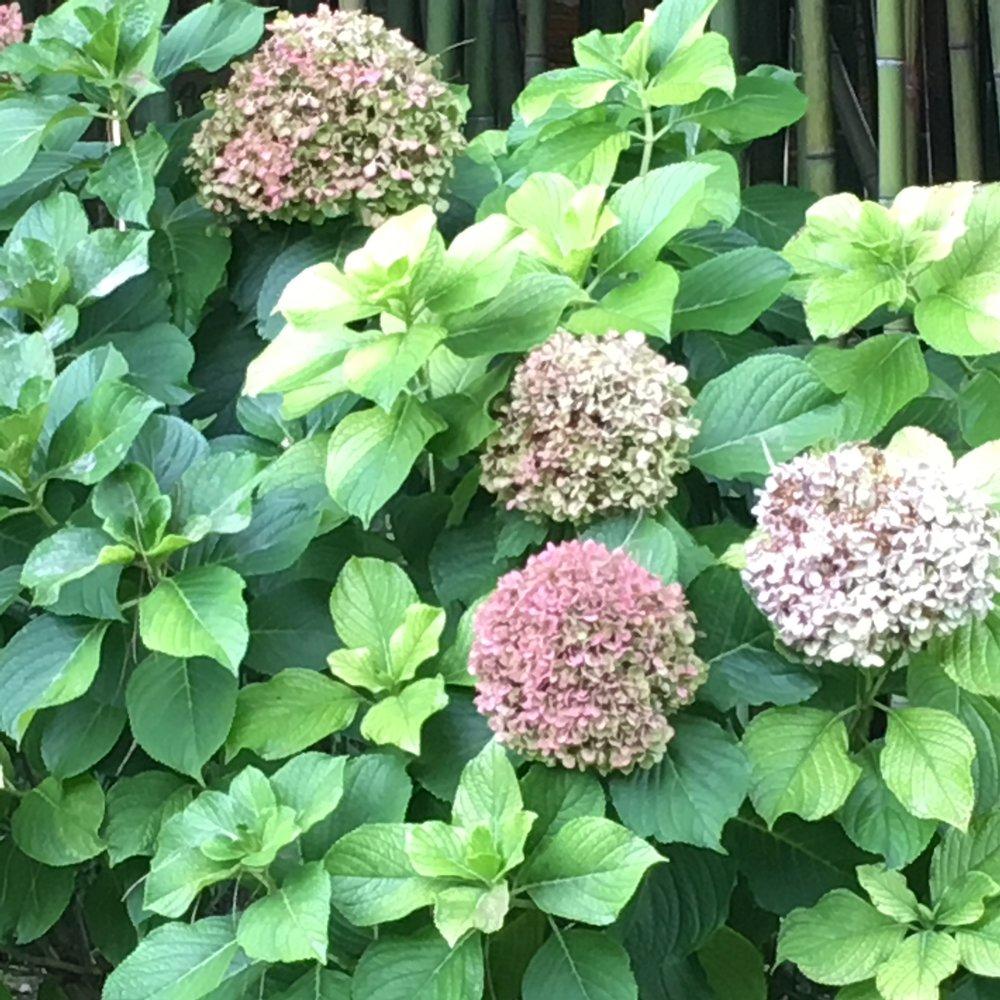 Hydrangeas in fall.