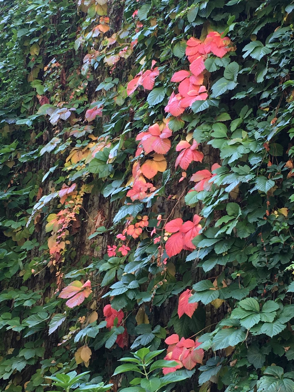 Colorful fall vines