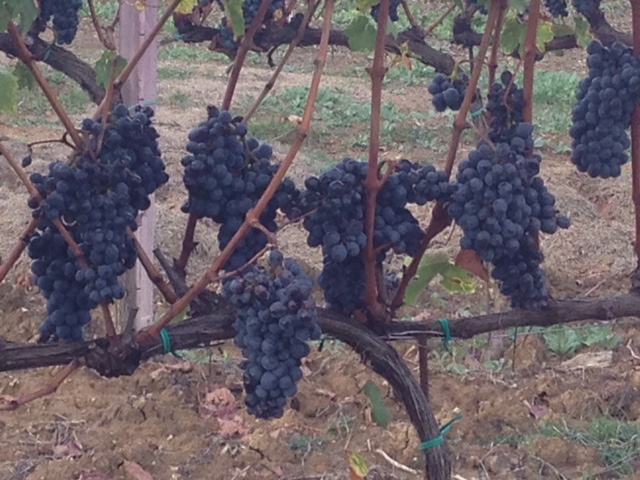 Grape vines at Agriturismo Cretaiole, near Pienza, ready for the harvest in early October 2016.