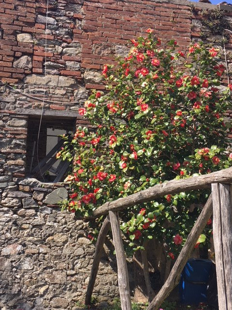Just one of many  camelie  in bloom on my visit to Sant'Andrea di Compito