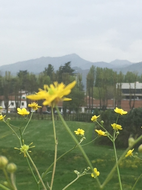 Tiny yellow buttercups grow along the wall in Lucca, beautiful against a view of distant hills.