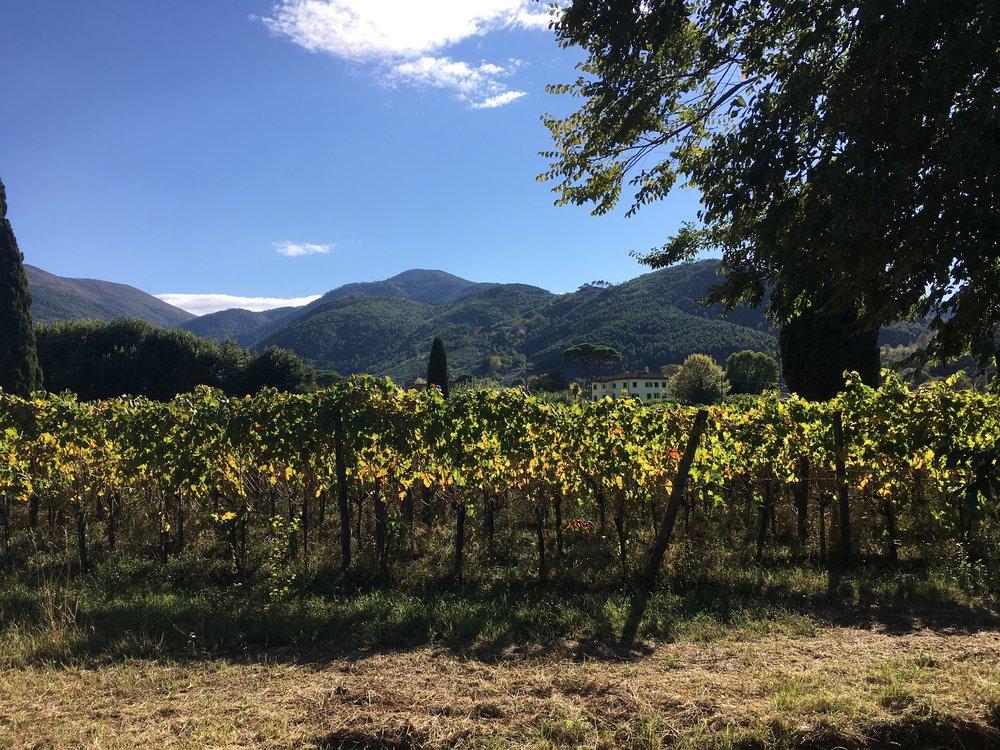 The vineyard of Tenuta allo Scompiglio, Vorno