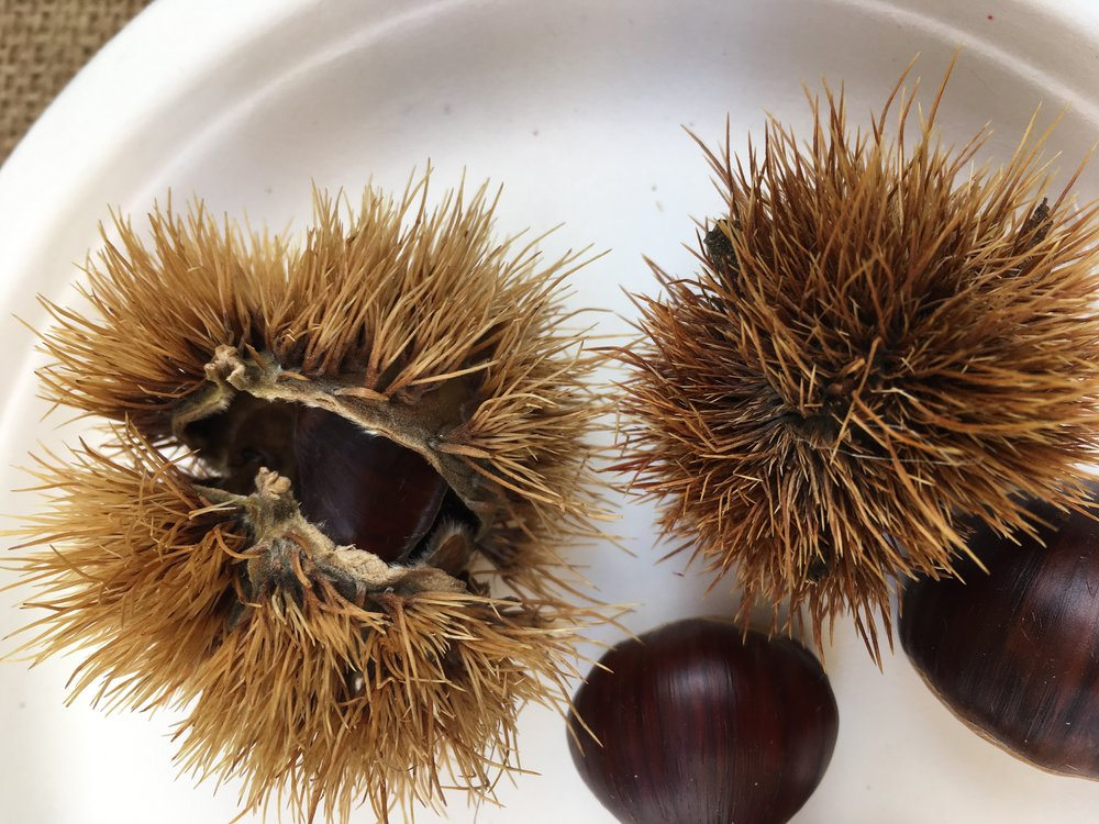 Chestnuts with their inedible shells