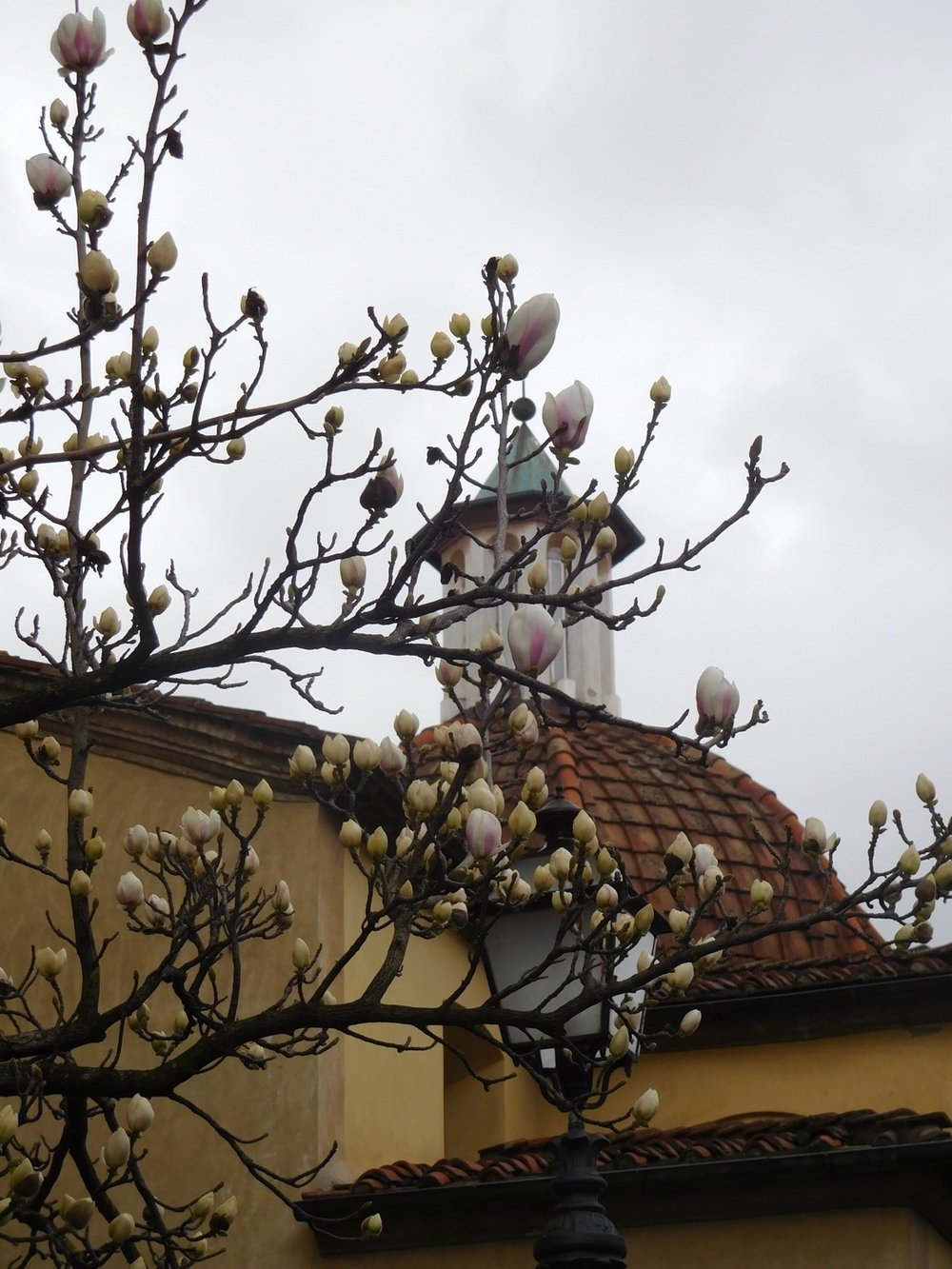 A magnolia tree just about ready to burst into bloom along Corso Garibaldi in Lucca, early March 2019