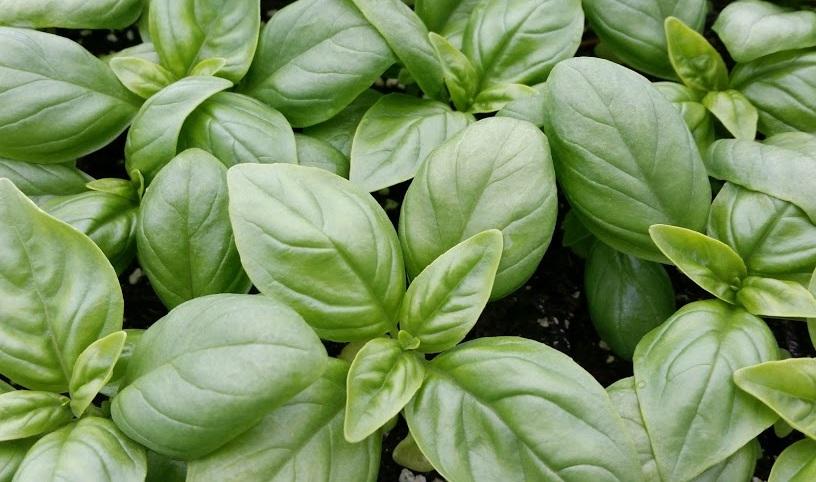 basil+plants.jpg