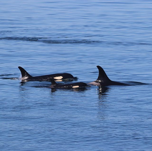 We are always heartbroken to hear about the loss of any of the critically endangered southern resident killer whales; but last week's death of a newborn calf hits particularly hard. As you may have heard, J35 gave birth to a live calf, who lived only a few hours. In what surely looks like mourning, she was seen Saturday carrying her dead calf for a fifth straight day. The population numbers 75 individual whales.  Our team remains on San Juan Island, awaiting their return from Canadian waters. We are redoubling our efforts to use the best available science to make their Salish Sea habitat clean, quiet, and full of salmon. 📷: @tobyedwardhall  Photo taken from land: no permit necessary.