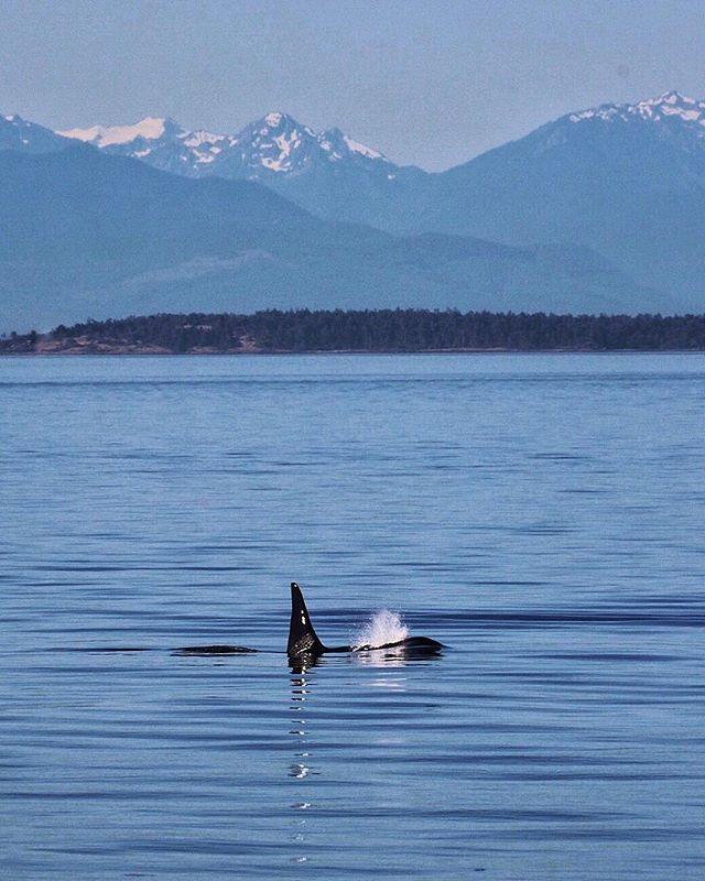 By studying killer #whales from land, we can measure their responses to #noise without adding the noise of a #research #boat to the equation. We use #noninvasive techniques to measure #swimming speeds, #breathing rates, and other behavior. Our work on both northern and southern resident #orca has shown us that #Blackfish spend 18-25% less time feeding in the presence of #boats than in their absence. We recently joined an international, interdisciplinary study to understand the relative importance of the three main threats to recovery in the #endangered #SRKW population. The whales are facing a perfect storm of threats--not enough #salmon, too much noise, and too many toxic chemicals in their bodies--but lack of prey is at the eye of the storm. This #research shows it will take 30% more big, fatty, Chinook salmon than we've seen on average over the last 40 years for the population to reach our recovery goals. That will take time, but we have to start now. Meanwhile, reducing noise and disturbance can help make it a little bit easier for whales to find the salmon we have now.  Thank you for supporting our #nonprofit's efforts to use science to guide recovery of killer whales and other endangered species. #linkinbio 📷 @tobyedwardhall Photo taken from land. No permit necessary.