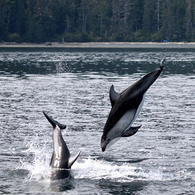 Diving into Monday like... PS We're so happy to be running simultaneous field projects on southern resident killer whales in the Salish Sea and Pacific white-sided dolphins at the southern edge of the Great Bear Sea. We're lucky to work with an amazing team, and are grateful, as always to those of you whose support makes the work possible.  #withaeroplan