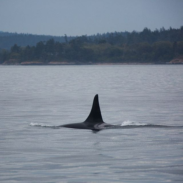 Beautiful #Blackfish, L87 (Onyx) chasing #salmon in the waters off Hannah Heights, San Juan Island. Photo taken last Friday by Jessica Newley, while our land-based team tracked #orca feeding activities during @portofvancouver's ship slow-down.  Thanks for helping our efforts to keep southern resident killer whale habitats in the #SalishSea clean, quiet, and full of salmon.