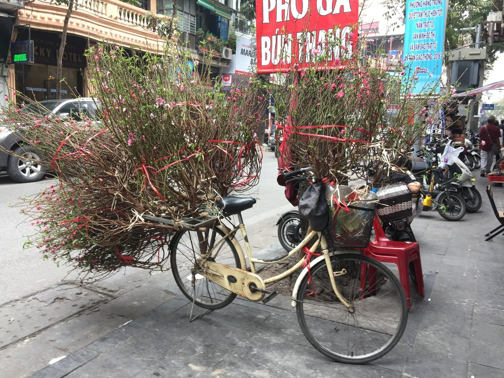 Several Tết trees for sale weigh down a bicycle on the streets of Hanoi, Vietnam.