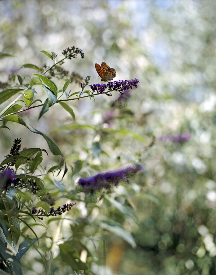 Schmetterling_fl_hp.jpg