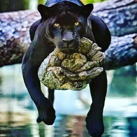 Looks like this guy has a case of the Mondays also... #panther #animals #monday #caseofthemondays #newweek #getintogear #herewego #lazy #chillin #goodmorning