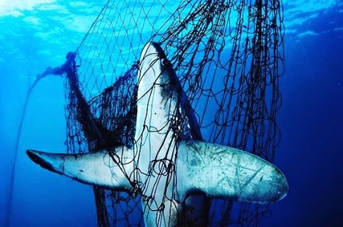 Sad and offensive! A Thresher shark struggling for its life. Every year 100 million sharks are killed as a result of human activity.