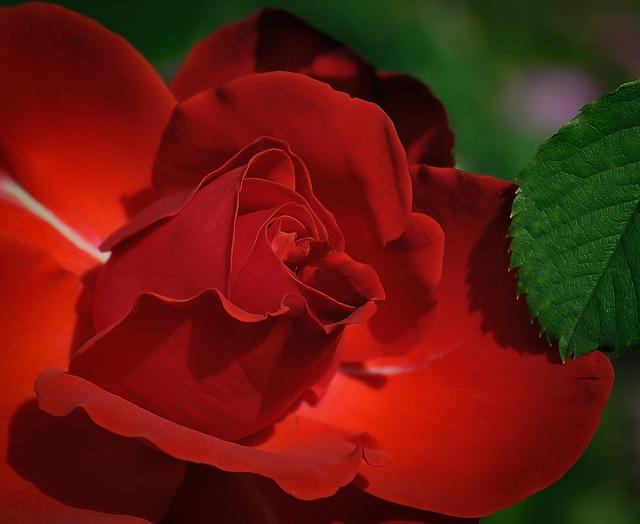 rose-411762_640.jpg