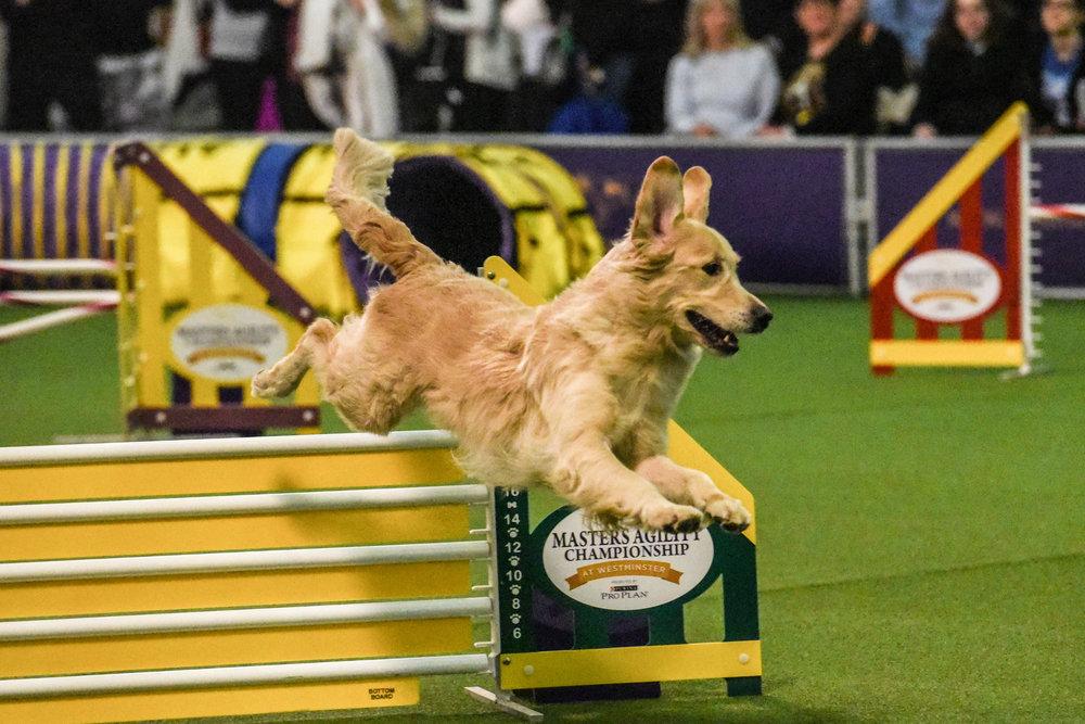 5-westminster-dog-show-2018-916666770.jpg
