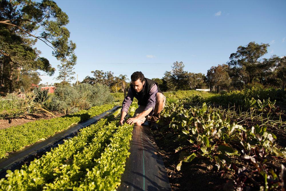 Giangi harvesting lettuce.