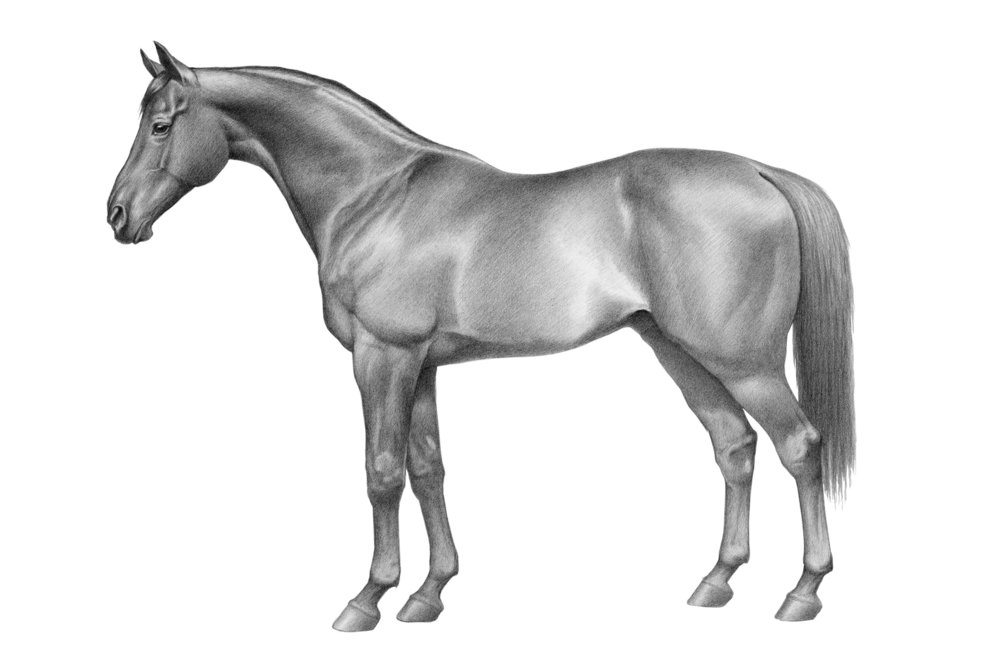 Horse modelled on anatomical plate by George Stubbs