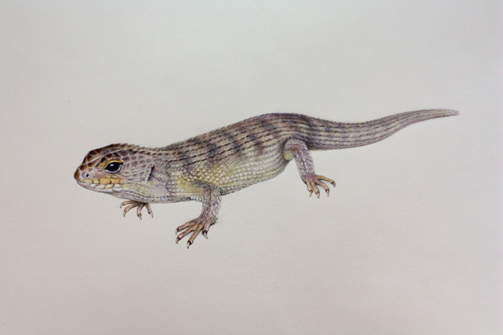 Nangur spiny skink.  Watercolour and graphite.