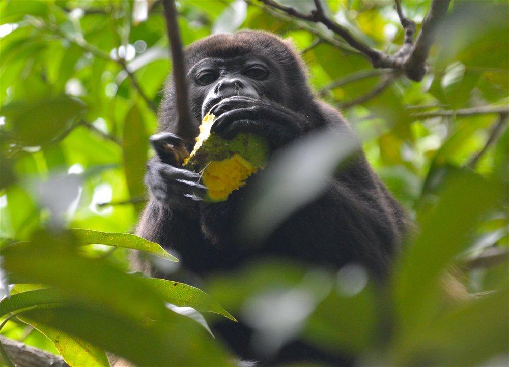 Monkey Mango.jpg