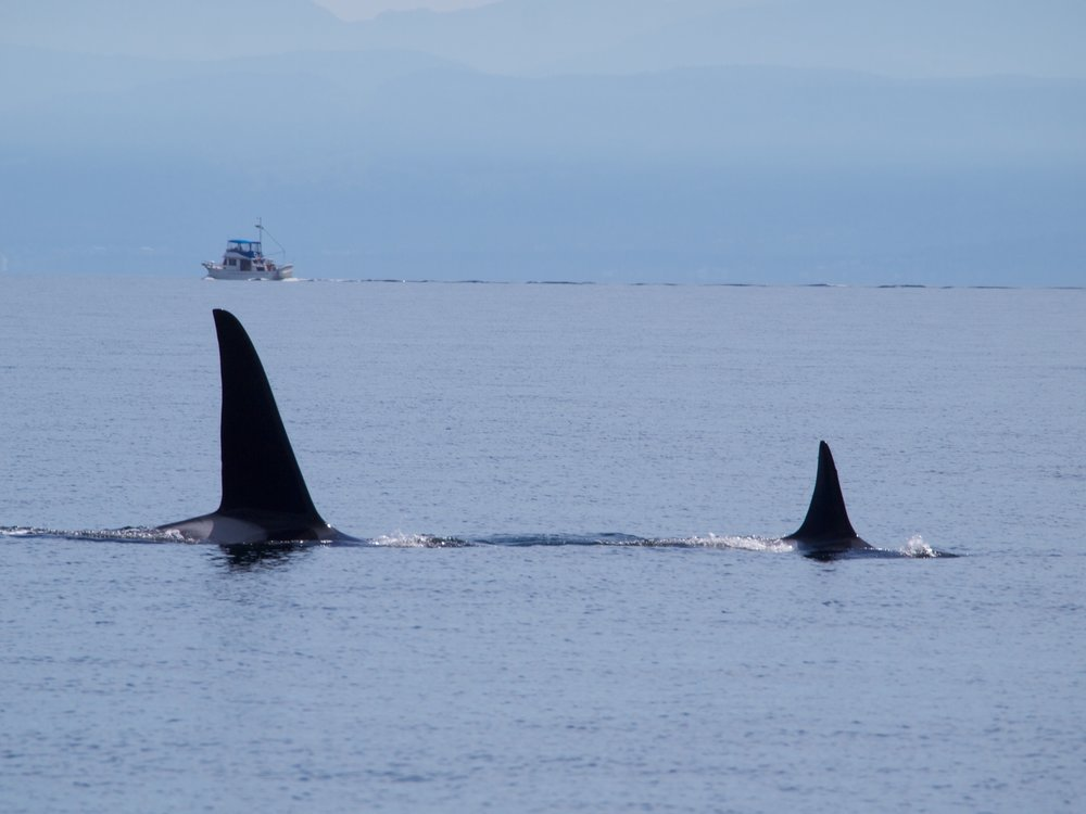 Orcas - Malaspina Strait.jpg