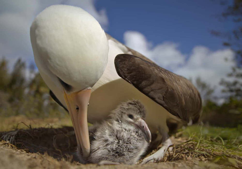 'Albatrosses go to great lengths to feed their young' ... a scene from Albatross. Photograph: Chris Jordan