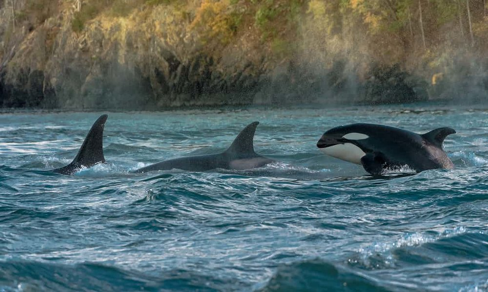 Orcas dive through the Salish Sea. Photograph: Julie Picardi / Barcroft Images