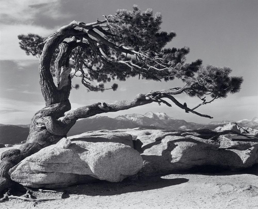 Jeffrey-Pine-1549x1260.jpg