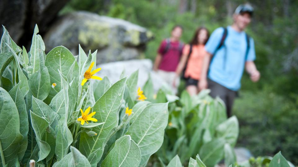 Hikers pass blooming Mule Ears along the Shirley Canyon, photo from Squaw Alpine.