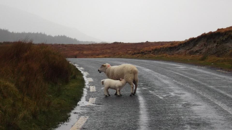 sheep-574968_960_720.jpg