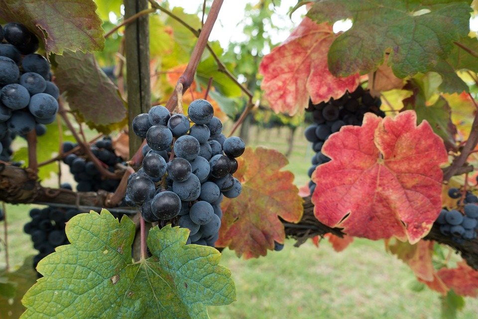 winegrowing-973027_960_720.jpg