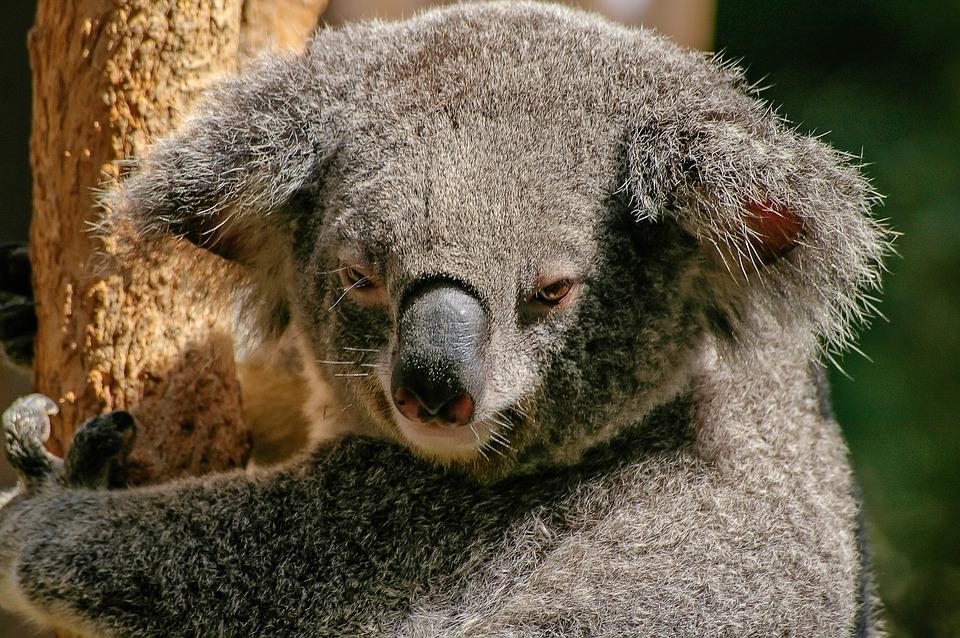 koala-446876_960_720.jpg