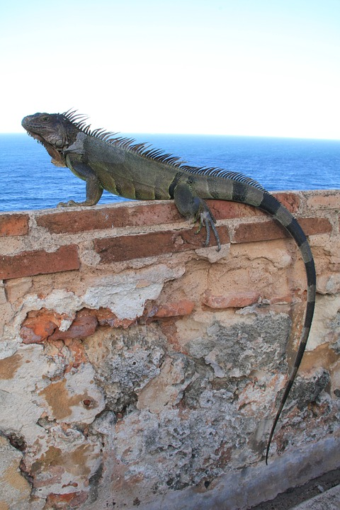 iguana-879949_960_720.jpg