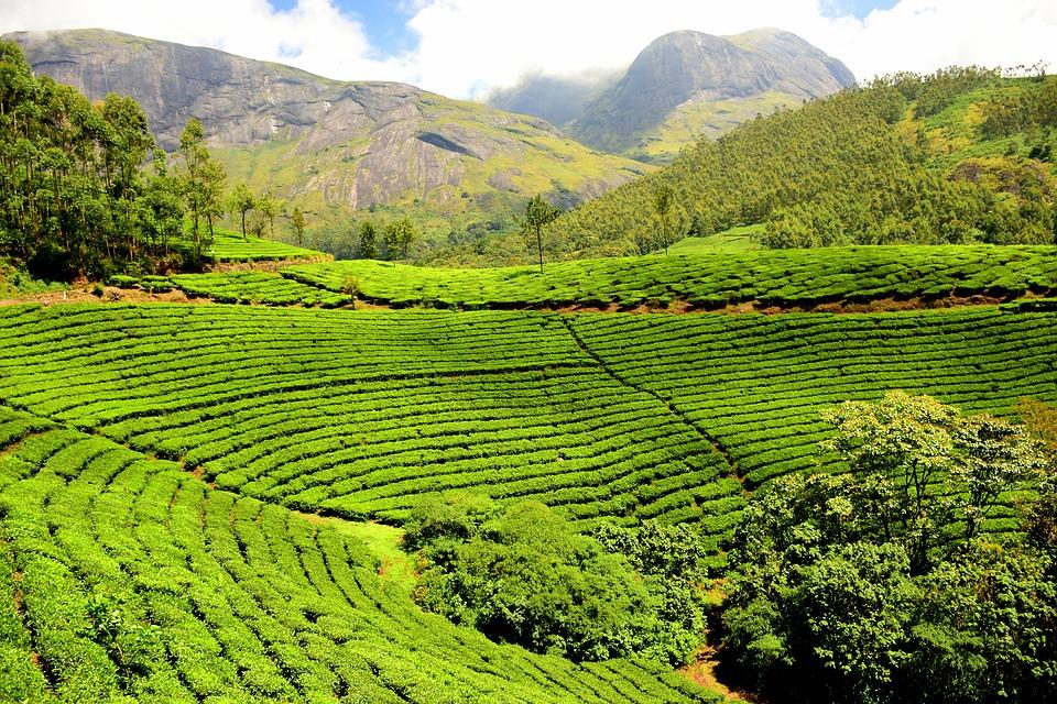 tea-plantation-1751369_960_720.jpg