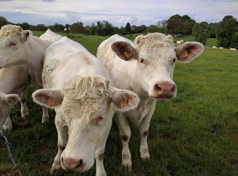 French Cows