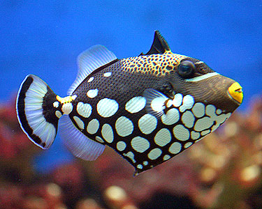 Clown_Triggerfish.jpg