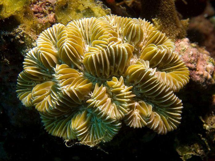 meandrina-maze_coral.jpg