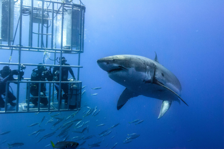 1480080958_cage-diving-white-shark-south-africa.png
