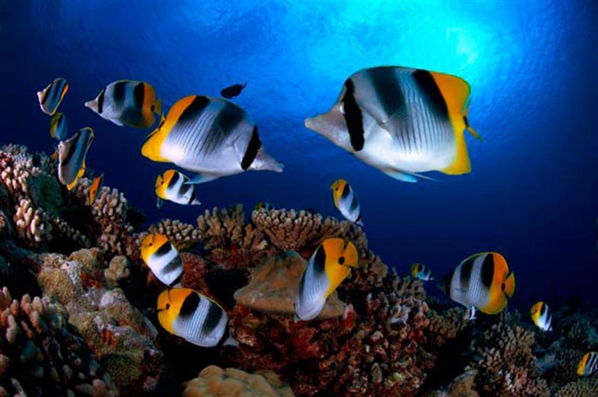 ButterflyFish_French_Polynesia01w857h570crwidth857crheight570.jpg