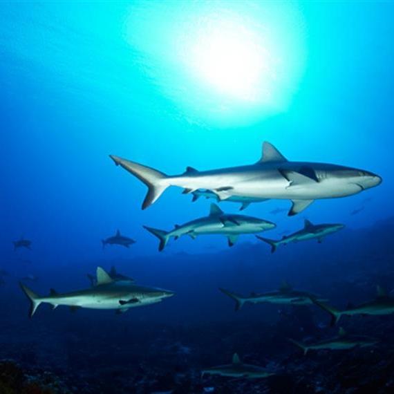 Wall_of_Sharks_French_Polynesia01w857h570crwidth857crheight570.jpg